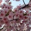 【田原市】おすすめ桜スポット 免々田川の河津桜 福江町