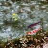 モネの池をスマホで綺麗に撮る方法!インスタ映え間違いなし!【岐阜県関市】