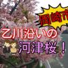 【岡崎市】乙川の河津桜2018の様子!今が一番見頃!【竜美丘会館前】