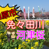 【田原市】免々田川の河津桜2018の様子!今が一番見頃!【観光スポット】