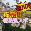 豊川市の桜花見スポット!2018佐奈川の見頃と開花状況!
