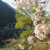 ダム桜花見スポット!秋葉ダムの千本桜を見に行った結果!